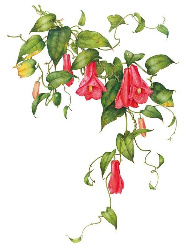 Botanic illustration of Lapageria rosea