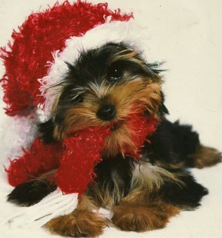 107 best Have Yorkie Christmas images on Pinterest Yorkies Dogs