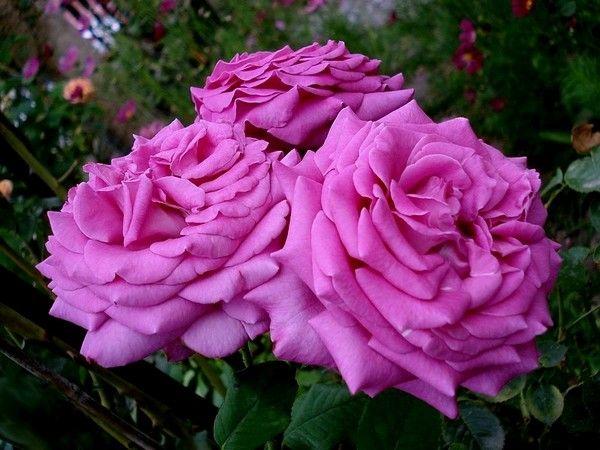 ~Rose Chartreuse de Parme, perfumed. Pas réellement pour la rose, mais pour Stendhal !