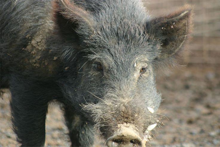 Feral Pig focus.