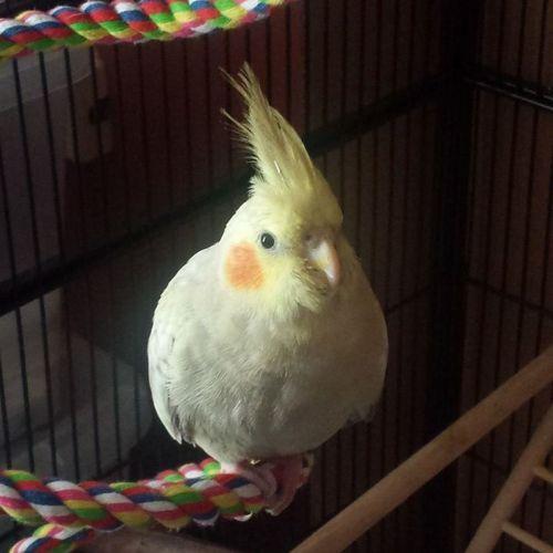 LOST: Allegra http://ow.ly/FS9If Female, Pied, Cockatiel #Lithgow NSW #LostBirdLithgow #LostBirdNSW #LostPetFinders