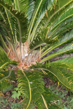 Cycad care, growing tips and feeding cycads :: Cycads are easy to care for, grow and make great foliage plants, we tell you how to grow cycads