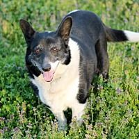 Pictures of PRINCESS HAPPY a Corgi/Border Collie Mix for adoption in Washington, DC who needs a loving home.