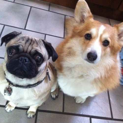 BOOM! | 21 Pug And Corgi Best Friends Who Will Be The Very Thing That Melts The Internet