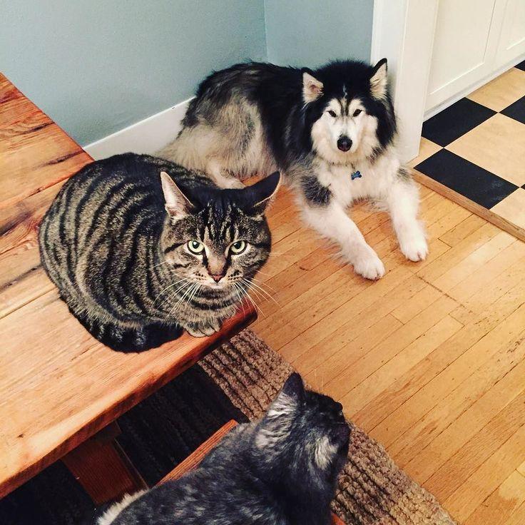 jeez. #cat #dog #cats #malamute