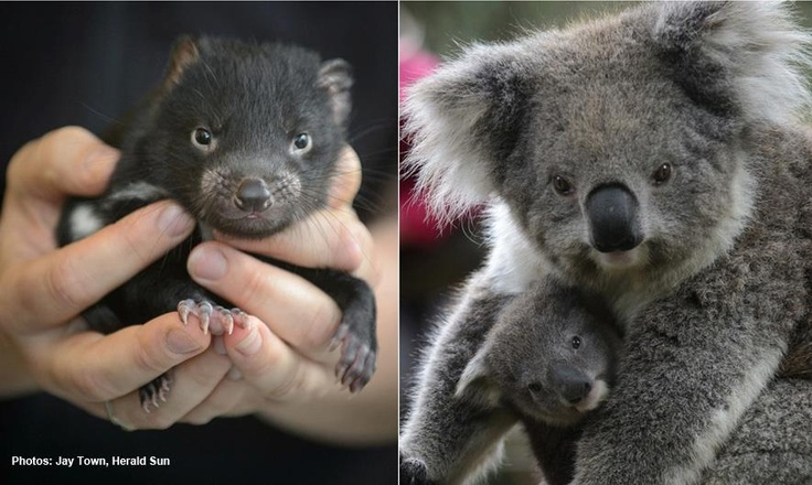 At Healesville Sanctuary we are very excited to welcome the newest additions to our animal family, and you have the opportunity to help name them! All you need to do is visit Healesville Sanctuary's retail store and vote from a list of 5 Wurrundjeri names, honouring the indigenous people whose land encompasses the area where the Sanctuary is today. Winners will receive a behind-the-scenes tour and the chance to meet the Joeys. Entries close on Sunday 7 October 2012…