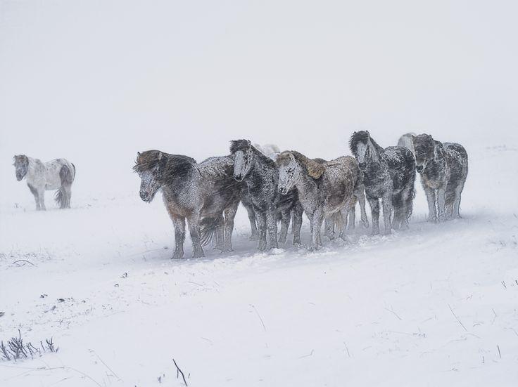 hestar i lit by Kristinn Gudlaugsson
