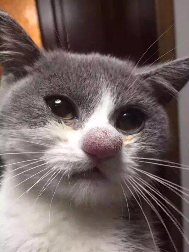 ハチに刺された猫:Twitterで話題。そうらしい。リンクで見れる他の写真も滑稽。
