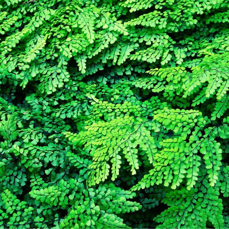 Адиантум красивый  Рекомендуется для озеленения тёплых полутенистых помещений и комнат с окнами, ориентированными на север, восток или юг, но затенённых деревьями.