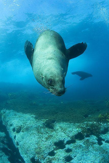 Australian Fur Seal - Montague Island