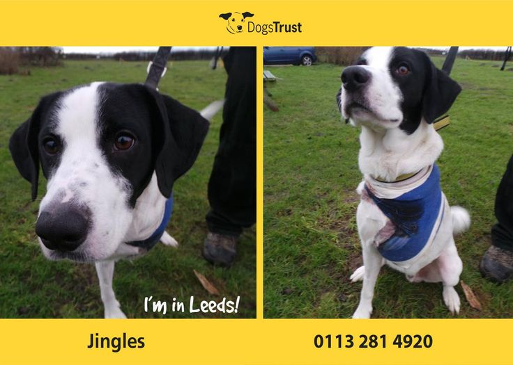 Jingles at Dogs Trust Leeds is a handsome and lively boy who arrived with us as a stray with a nasty injury to one of his front legs. Unfortunately his leg could not be saved and had to be amputated by our vet. Jingles is recuperating in a foster home and despite having just 3 legs, he will be an energetic and bouncy boy who would benefit from some basic training.