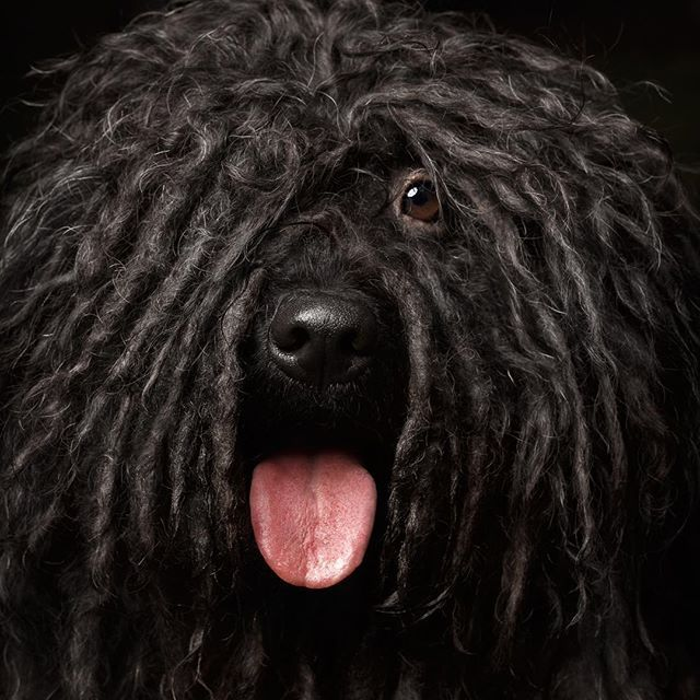 A Puli is more than a funky hairdo. Pulik are affectionate with loved ones, very smart, and loyal.