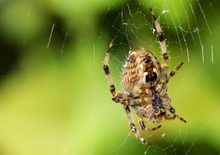 Garden Spider Waiting