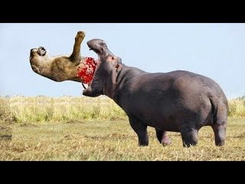 For more visit our website: http://mercilessnature.com ... Hippopotamus Eating People