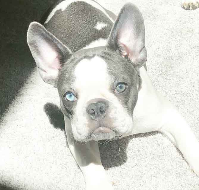 Its True That Blue French Bulldog Puppies Are Hard To Breed However The Result Is Simply Thrill In 2020 French Bulldog Breed French Bulldog Dog French Bulldog Breeders