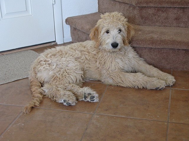 Goldendoodles are so cute they make my stomach hurt and my heart sore.... this one's name is Gracie. (Just like my dog!!!)