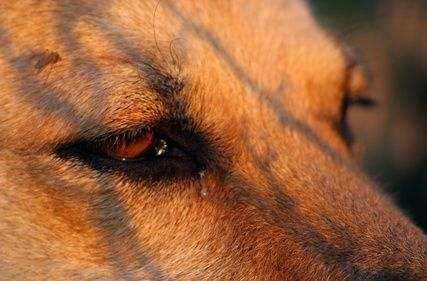 Your dog is so cute, but not when she has runny discharge streaming from her eyes. Eye discharge is very common in dogs, especially certain breeds. Whether your dog's eyes are baby blue or dark brown, they'll be melting your heart again after applying a few simple home remedies.