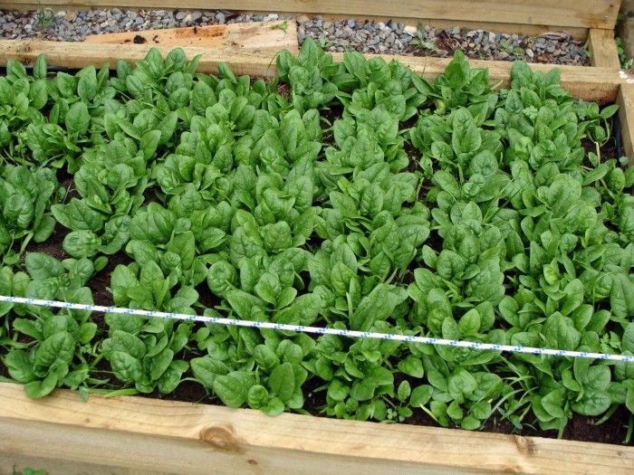 how to grow spinach, when to harvest, and how to store it