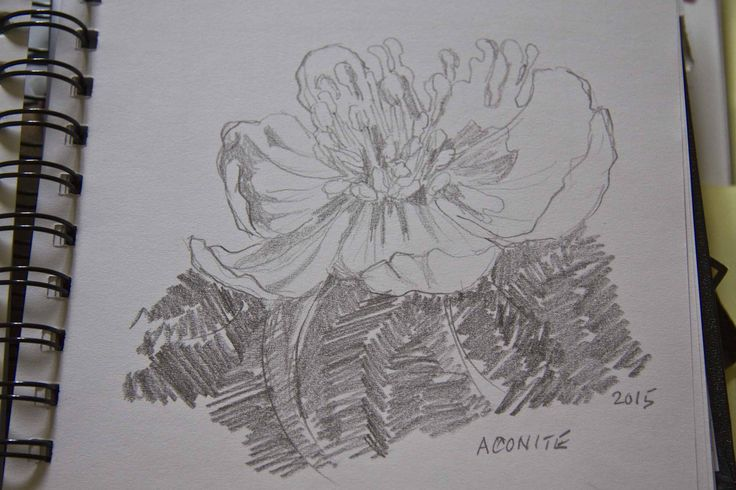 Day 5 Sketch of Aconite