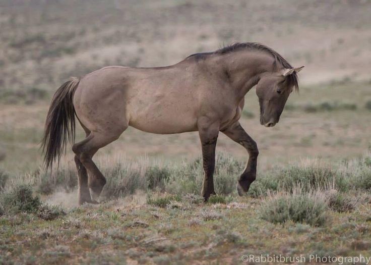 Wild horses, kiger mustangs