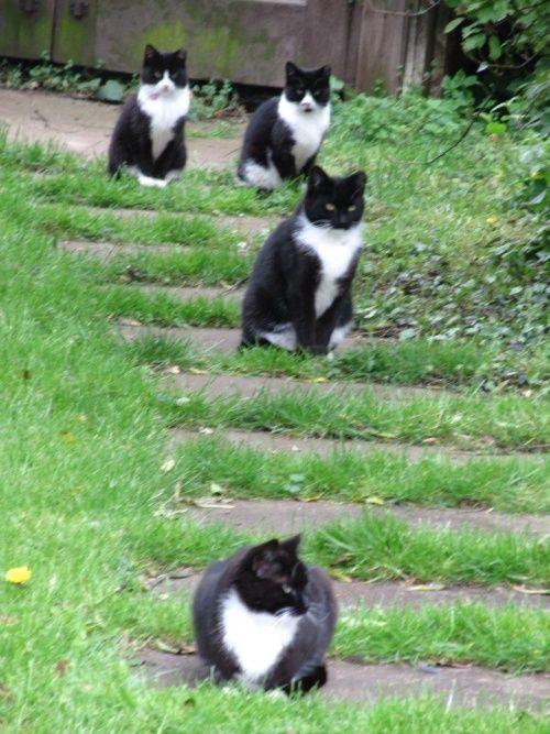 Tuxedo cat overload...