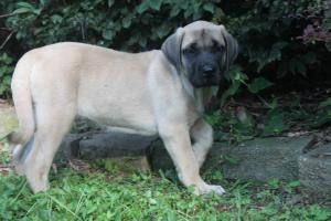 English Mastiff Puppies For Sale In Pennsylvania http://www.network34.com/dogsbreed/english-mastiff-puppies-for-sale-pa-md-ny-nj-dc/