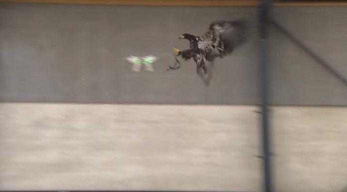 Belanda latih Burung Elang Untuk Menangkap Drones Ilegal