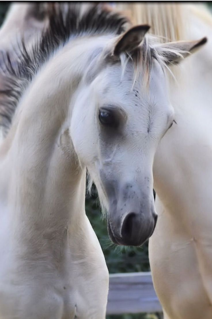 Beautiful white/grey young horse. Precious sweet face!
