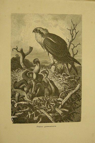 Muetzel G. - Jahrmargt K. - Falco pescatore.  s.d. (ma 1900 ca.). Storia natule - Etologia - Animali - Uccelli - Ornitologia  - Stampa - Scienza -  -