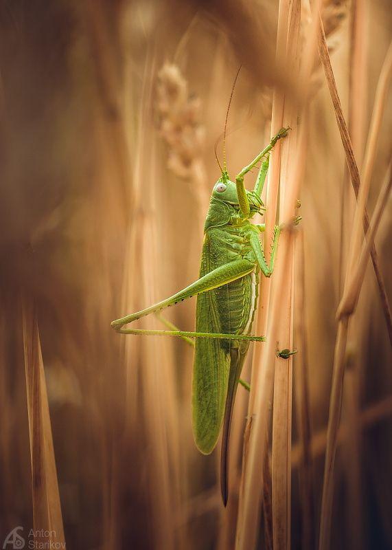 Grasshopper on 500px by Anton Starikov, Saratov, Russia ☀  571✱800px-rating:92.9