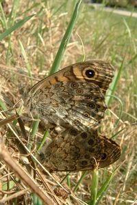 De onderzijde van argusvlinder heeft een prima camouflage (foto: Kars Veling)