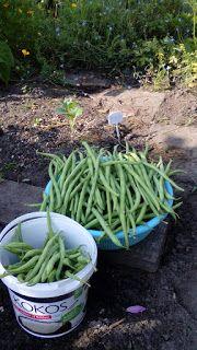 Dorthy's moestuin en meer: Komkommers, bonen en tomaten