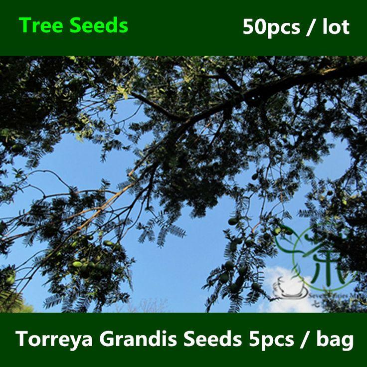 Вечнозеленое дерево Torreya грандис семена 50 шт., Декоративное растение китайский мускатный орех ю-вуд семена, Семья Cephalotaxaceae сян фэй шу семян