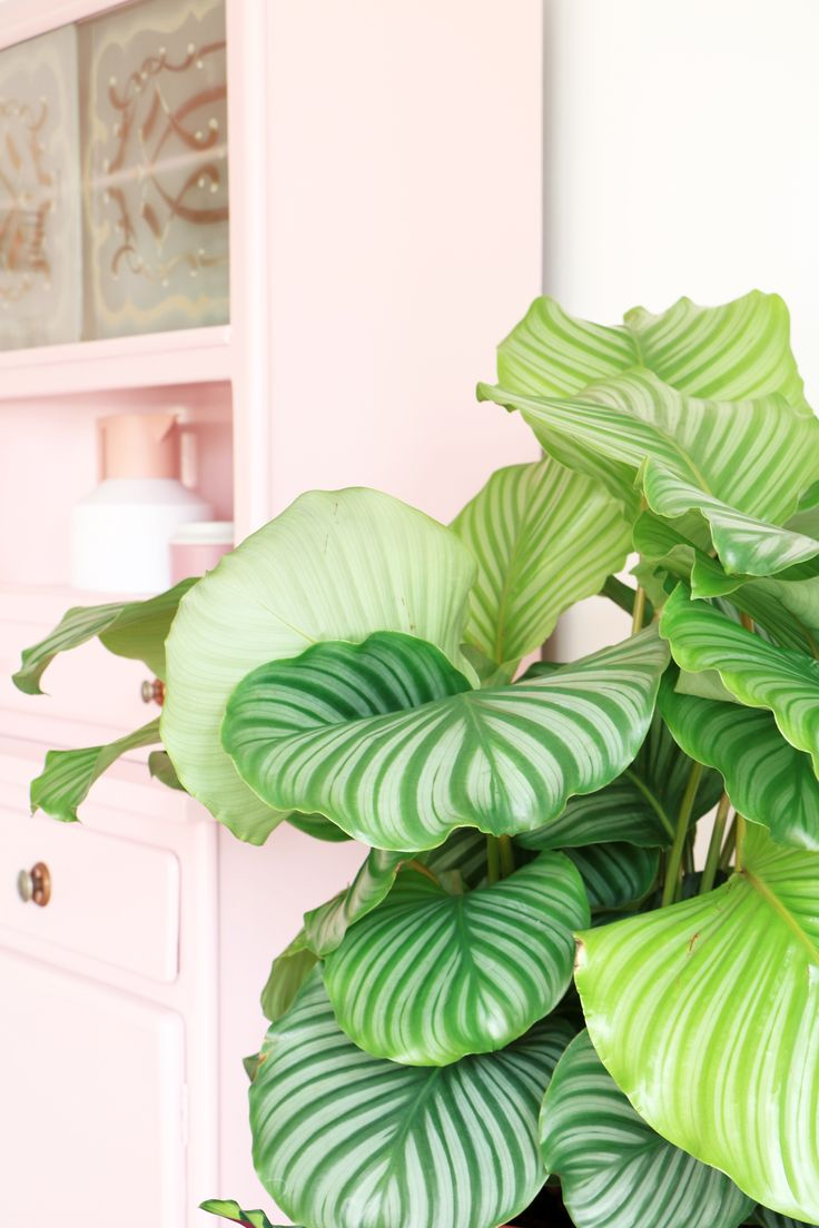 Best Kitchen Gallery: 353 Best Kasvikokoelma Images On Pinterest Calathea Houseplants of Pink And Green Tropical Houseplants on rachelxblog.com