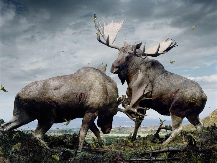 O Canada.Photographers, Animal Friendship, Nature, Simenjohan, Art, Moo,  Capra Ibex, Photography, Simen Johan