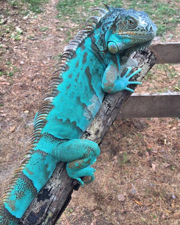 Gorgeous axanthic iguana