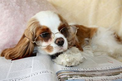 This puppy's morning read ♥ {King Charles Cavalier Puppy}