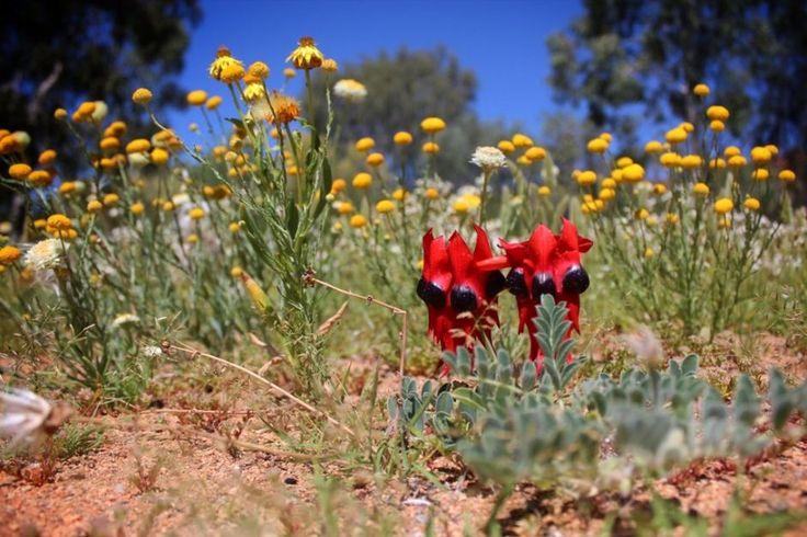 wild flower meadow queensland - Google Search