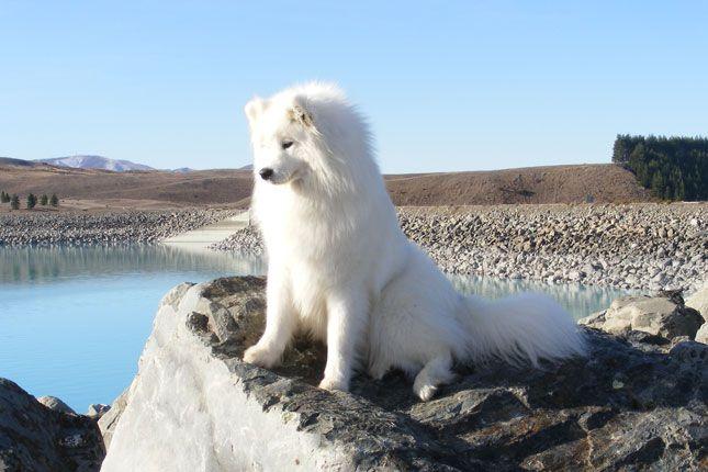 Samoyeds – hypoallergenic, loving, radiant, over-sized lapdogs! Beautiful creatu…   – Favorites