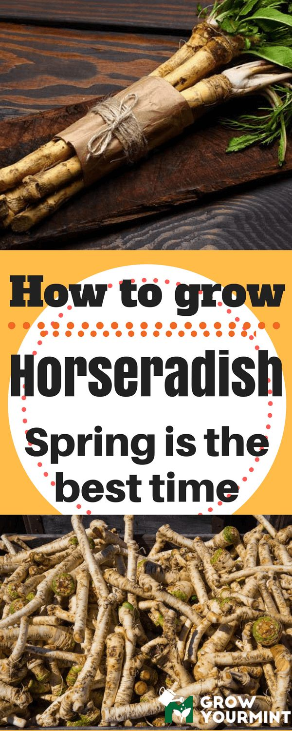 I'll show you how to grow horseradish, so that you can spice things up a bit when it comes to cooking and serving of meals #garden#gardening#horseradish#howtogrowhorseradish#growyourmint.com
