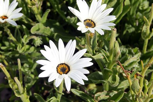 White flowers, Namaqualand
