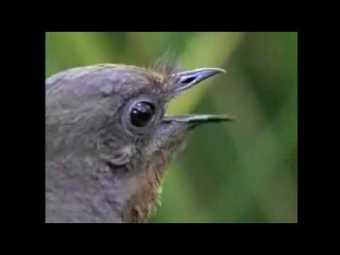 Лира ( Лирохвост ). Птица, имитирующая звуки бензопилы и сигнализации. - YouTube