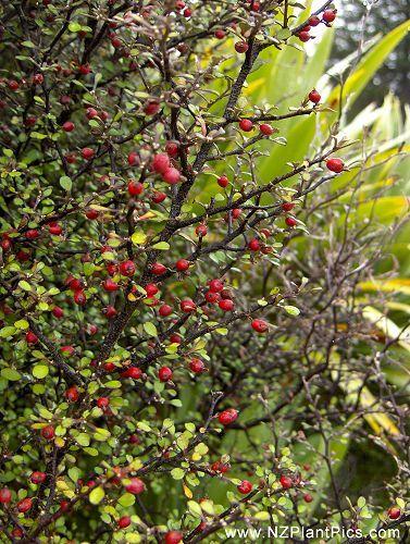 Corokia cotoneaster - wire-netting bush, korokio