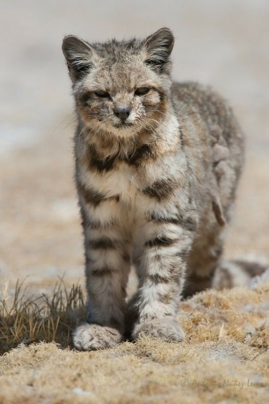 The Andean mountain cat (Leopardus jacobita) is a small wildcat found in the Andes mountains. Fewer than 2500 individuals are thought to exist.