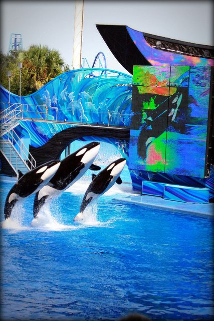"This would be an even BETTER """"SHOW"""" in the OCEAN, their HOME. That's where ALL ORCA'S BELONG!!!"