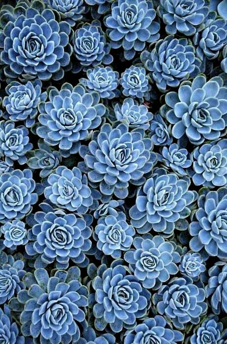 Blue succulents. Inspiration for #blue #gems