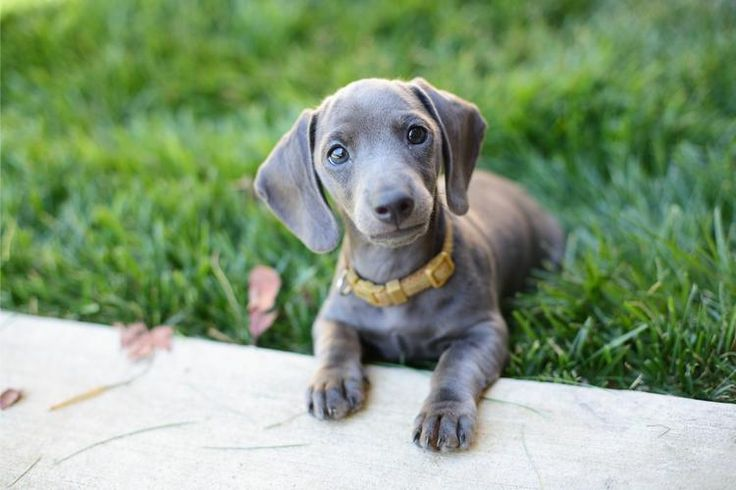blue mini dachshund!!!!: Gray Dachshund, Small Dogs, Dachshund Puppies ...
