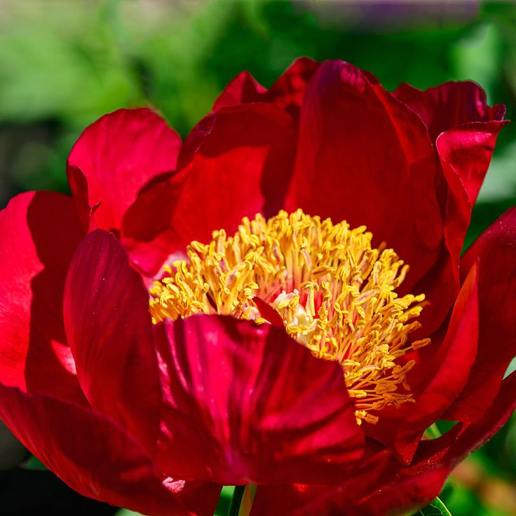 Peony Early Scout - Start the peony season out beautifully with this early bloomer.