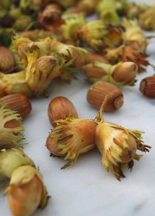 Skördetid för färska hasselnötter — Skånska skafferiet på Taffel.se