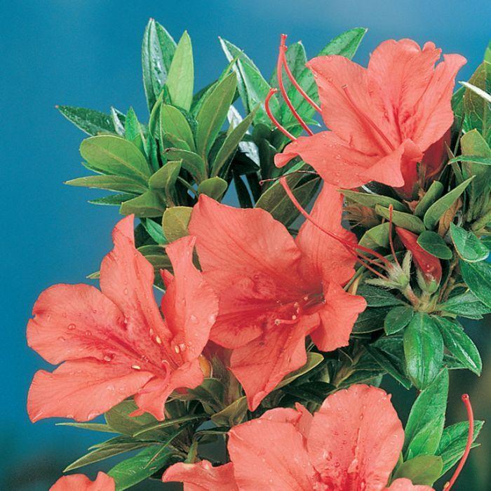 Browse Azalea Glory Of Sunninghill Flower Power Azaleas Spring Flowering Bulbs Garden Border Plants